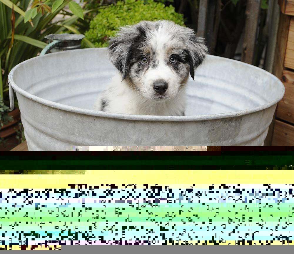aussie shepherd puppy adoption