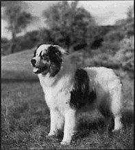 Milo Australian Shepherd