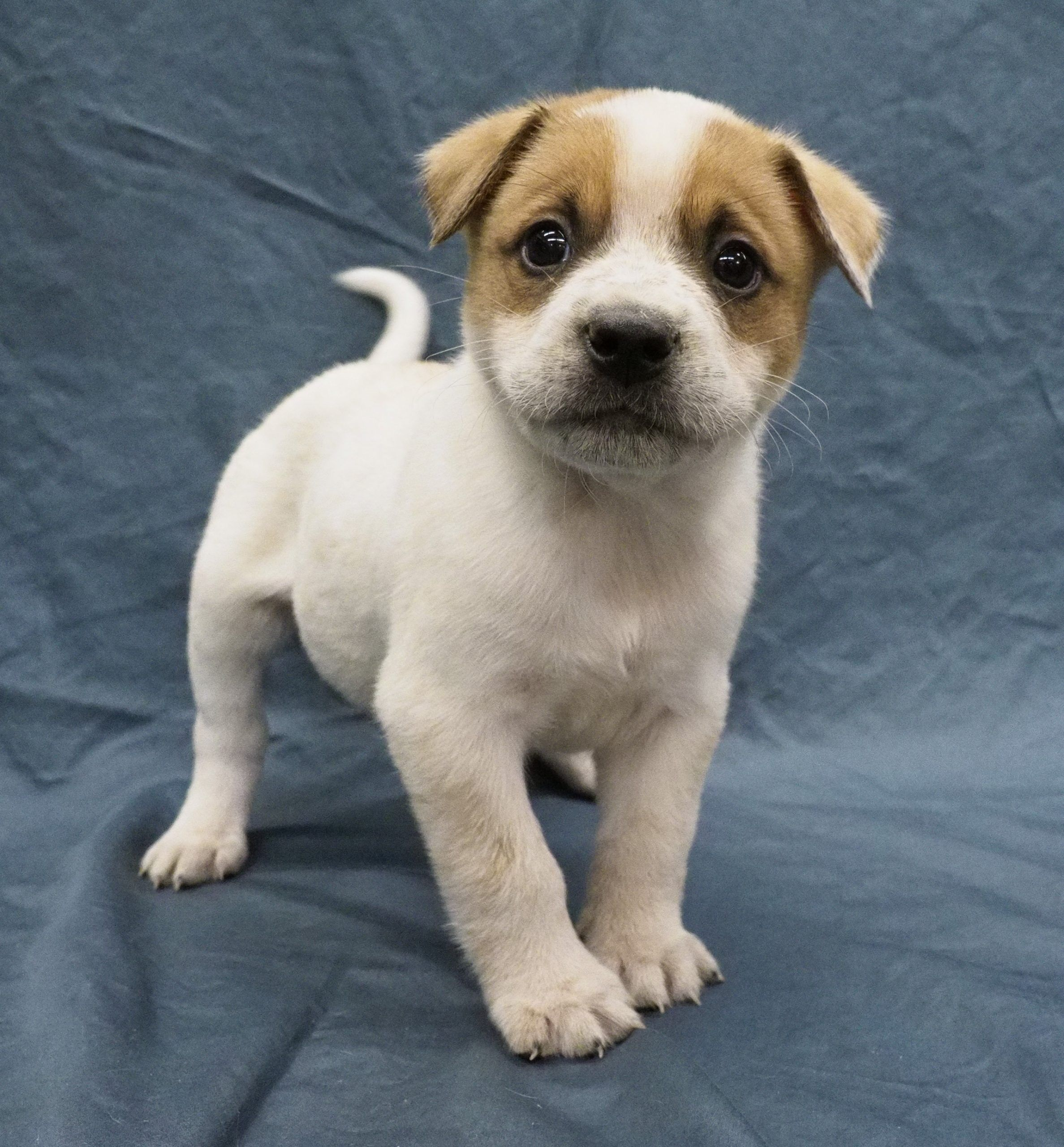 Milo Puppy for Adoption